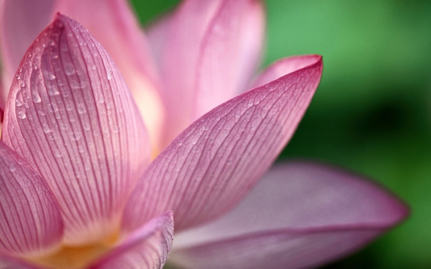 86c24-lotus-flower-high-resolution-wallpapers-lovely-desktop-background-images-widescreen